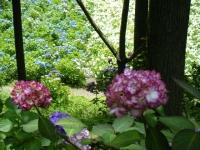 2019-07-13一関市舞川 紫陽花園216