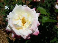 2019-06-23花巻温泉薔薇園229