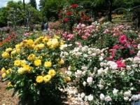 2019-06-23花巻温泉薔薇園232