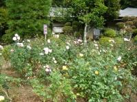 秋の花巻温泉街バラ園2019-09-28-74