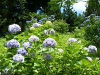2019-07-13一関市舞川 紫陽花園221