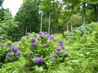 2019-07-13一関市舞川 紫陽花園222