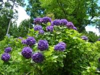 2019-07-13一関市舞川 紫陽花園223
