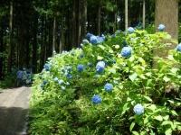 2019-07-13一関市舞川 紫陽花園228