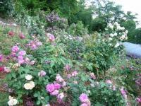 2019-06-23花巻温泉薔薇園241