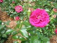 2019-06-23花巻温泉薔薇園248