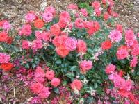 2019-06-23花巻温泉薔薇園250