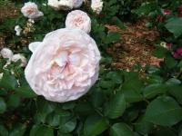 2019-06-23花巻温泉薔薇園252