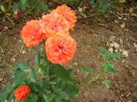 秋の花巻温泉街バラ園2019-09-28-91
