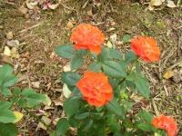 秋の花巻温泉街バラ園2019-09-28-92
