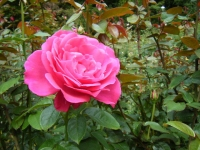 秋の花巻温泉街バラ園2019-09-28-95