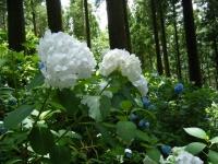 2019-07-13一関市舞川 紫陽花園229