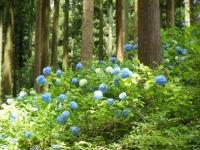 2019-07-13一関市舞川 紫陽花園230