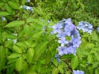 2019-07-13一関市舞川 紫陽花園232