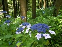 2019-07-13一関市舞川 紫陽花園236