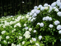 2019-07-13一関市舞川 紫陽花園239