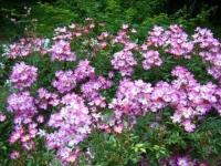 2019-06-23花巻温泉薔薇園256