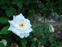 2019-06-23花巻温泉薔薇園257