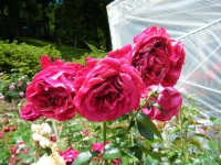 2019-06-23花巻温泉薔薇園258