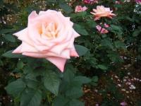 2019-06-23花巻温泉薔薇園262