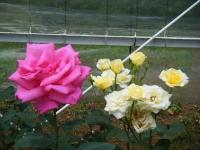 2019-06-23花巻温泉薔薇園266
