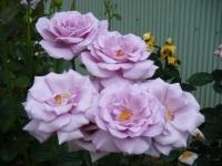 2019-06-23花巻温泉薔薇園267