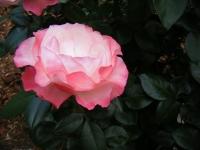 2019-06-23花巻温泉薔薇園270