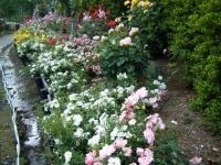 2019-06-23花巻温泉薔薇園273