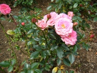秋の花巻温泉街バラ園2019-09-28-116