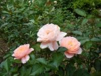 秋の花巻温泉街バラ園2019-09-28-120