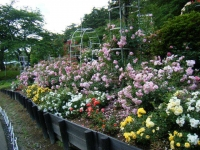 2019-06-23花巻温泉薔薇園277