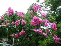 2019-06-23花巻温泉薔薇園280