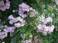 2019-06-23花巻温泉薔薇園281
