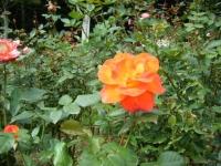 秋の花巻温泉街バラ園2019-09-28-126