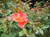 秋の花巻温泉街バラ園2019-09-28-127