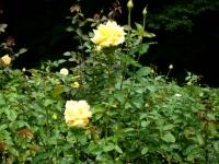 秋の花巻温泉街バラ園2019-09-28-129