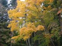 2019-11-09中尊寺菊祭り紅葉069