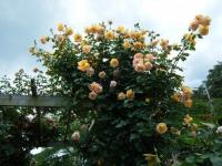 2019-06-23花巻温泉薔薇園297