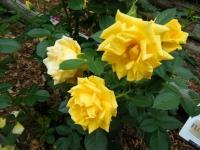 2019-06-23花巻温泉薔薇園299