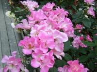 2019-06-23花巻温泉薔薇園300