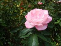 秋の花巻温泉街バラ園2019-09-28-136