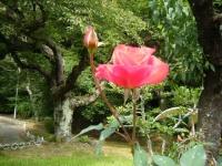 秋の花巻温泉街バラ園2019-09-28-137