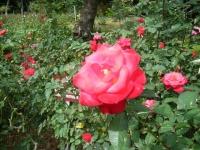 秋の花巻温泉街バラ園2019-09-28-138