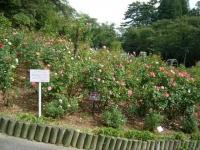 秋の花巻温泉街バラ園2019-09-28-142