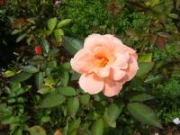 秋の花巻温泉街バラ園2019-09-28-144