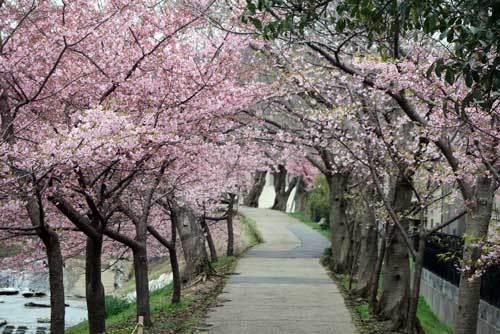 200228河津桜6