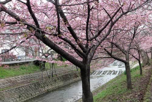 200228河津桜4