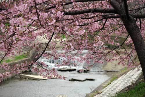 200228河津桜3