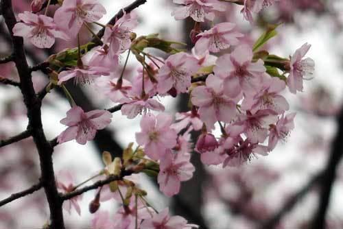 200228河津桜5