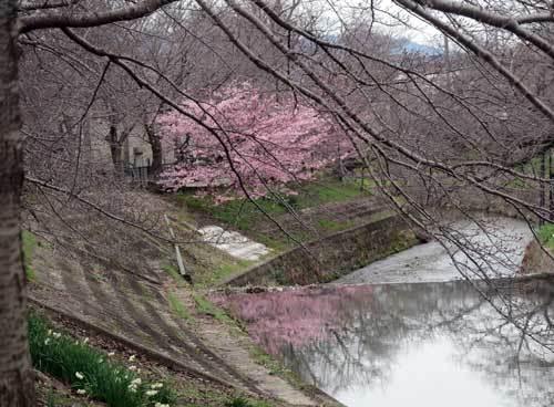 200228河津桜2